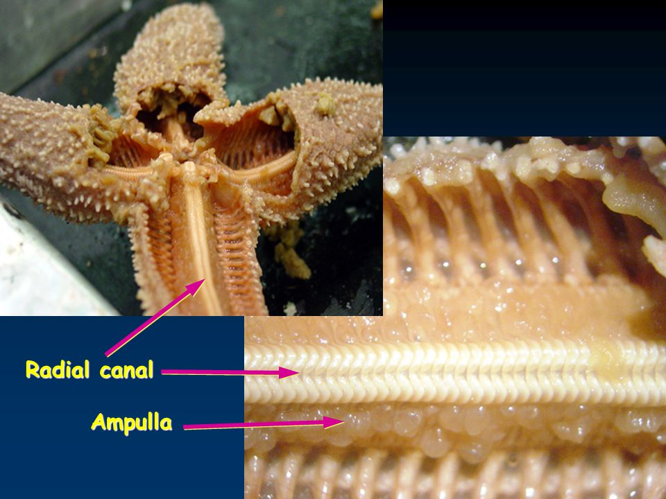 Radial canal Ampulla