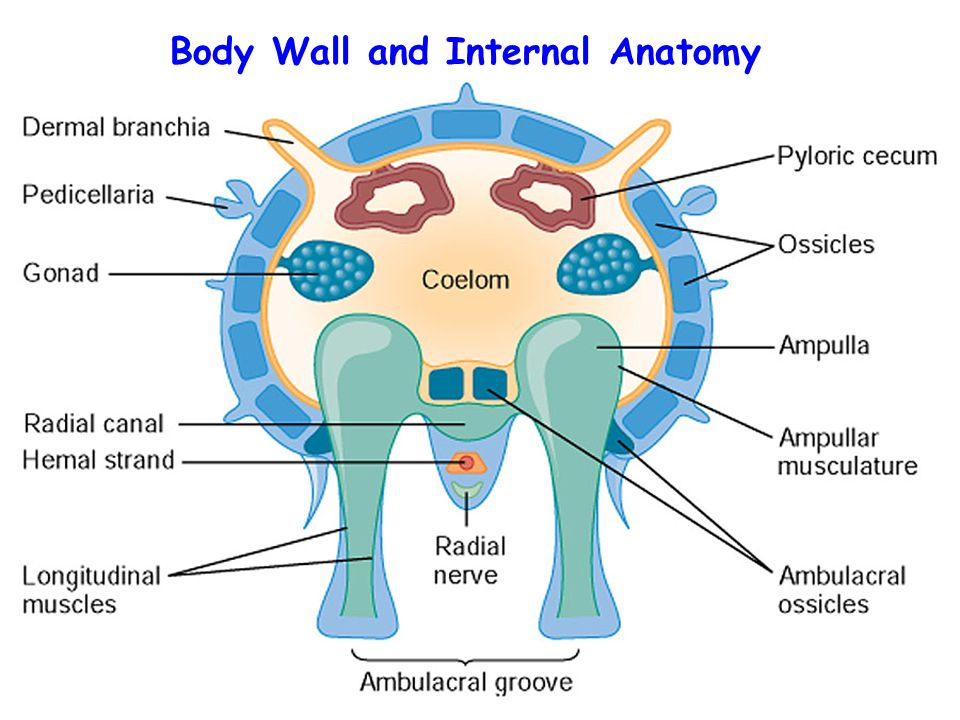 Body Wall and Internal Anatomy