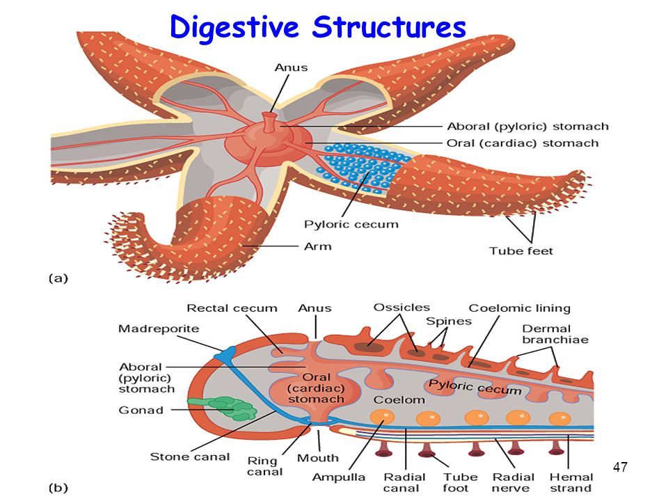 Digestive Structures