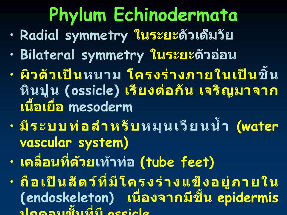Phylum Echinodermata Radial symmetry ในระยะตัวเต็มวัย