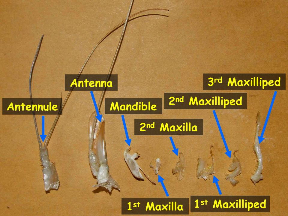 Antenna 3rd Maxilliped 2nd Maxilliped Antennule Mandible 2nd Maxilla 1st Maxilliped 1st Maxilla