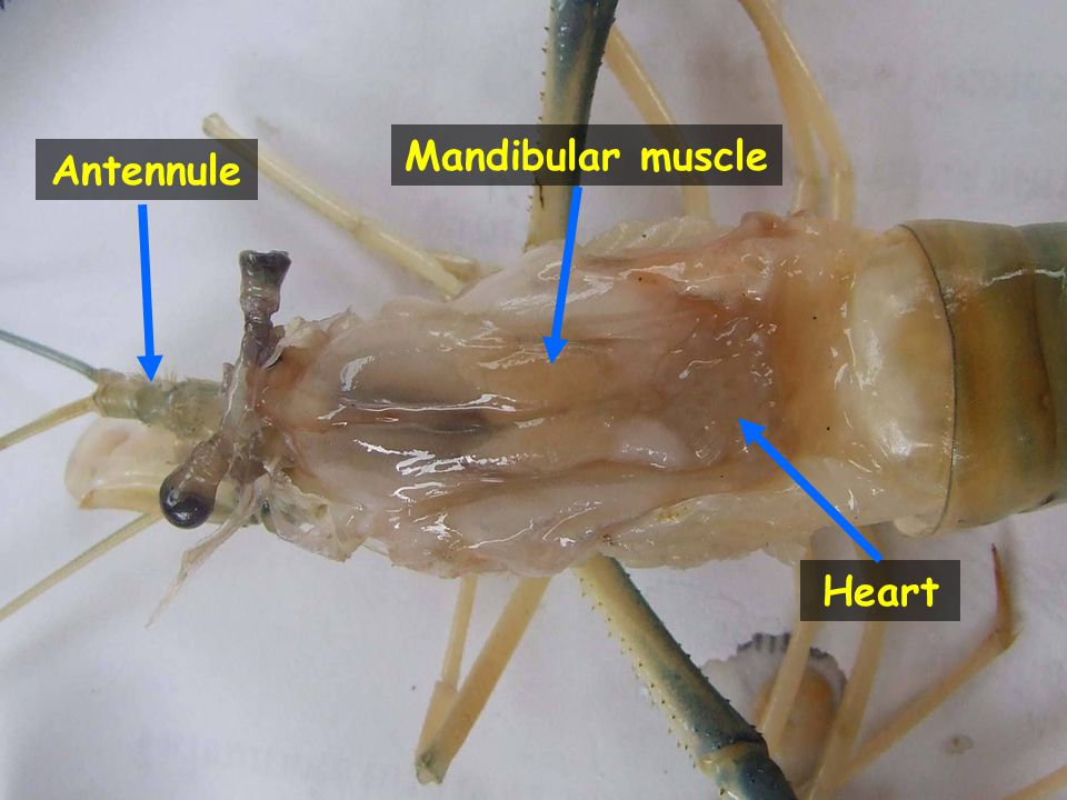 Mandibular muscle Antennule Heart