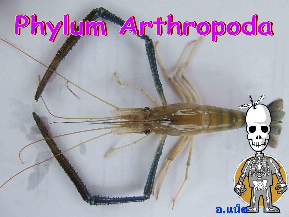 Phylum Arthropoda อ.แน็ต