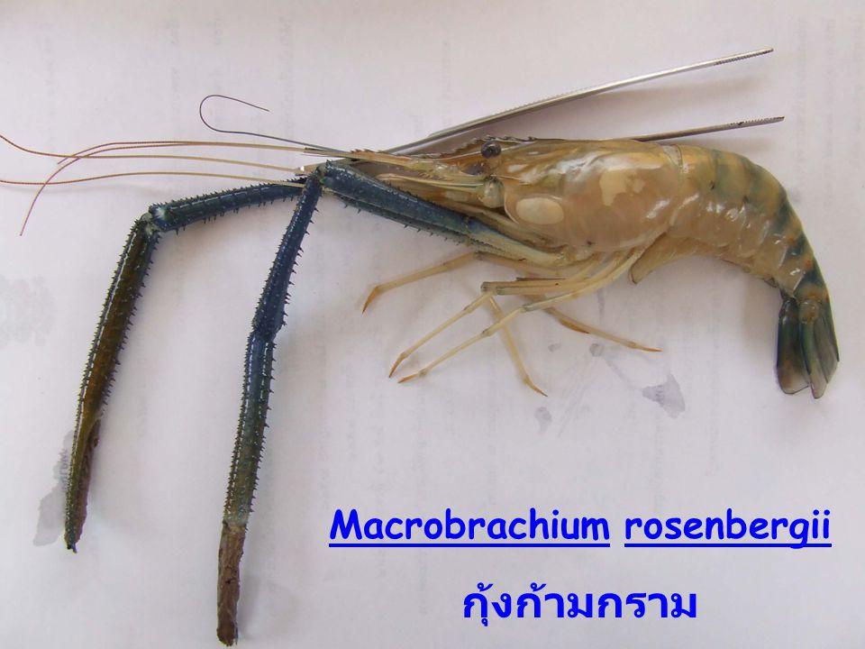 Macrobrachium rosenbergii