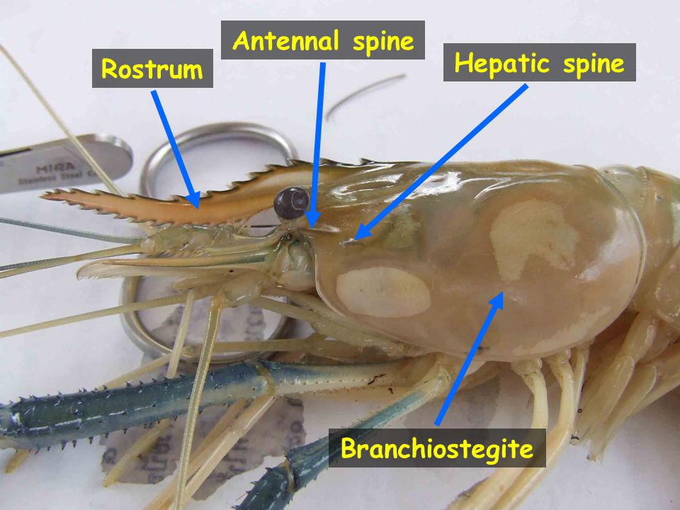 Antennal spine Hepatic spine Rostrum Branchiostegite