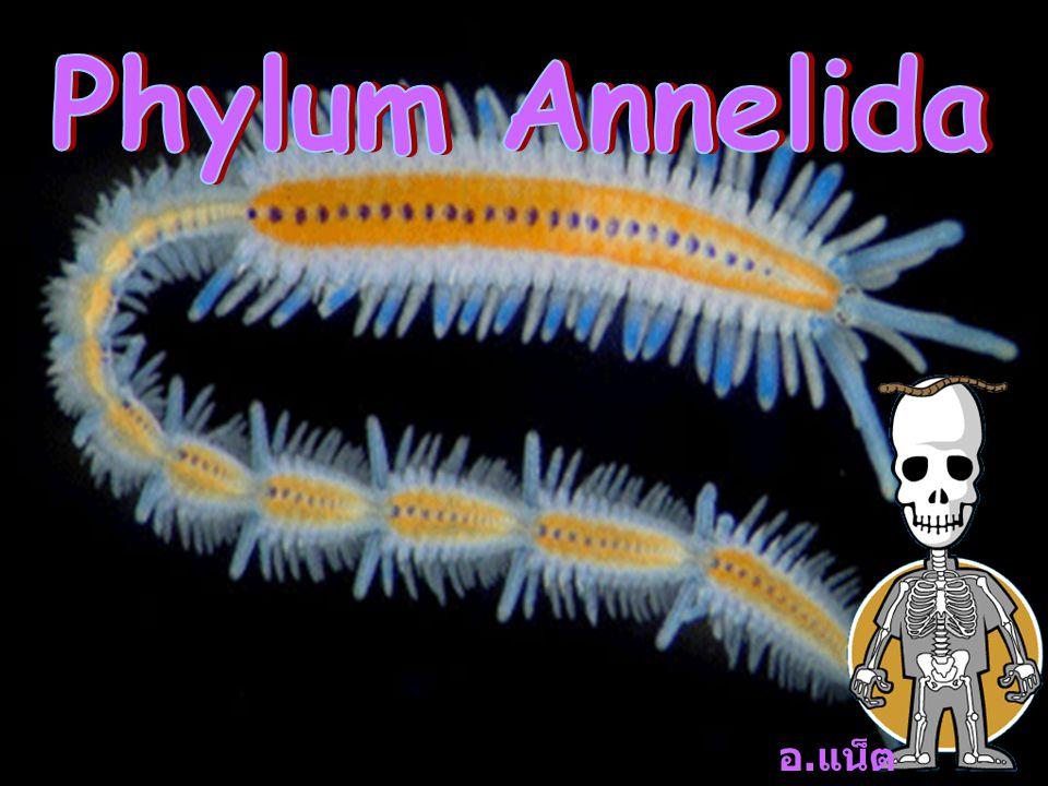 Phylum Annelida อ.แน็ต