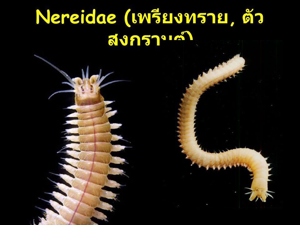 Nereidae (เพรียงทราย, ตัวสงกรานต์)