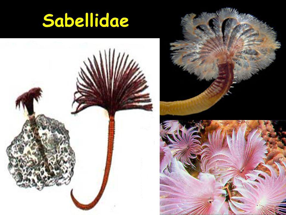 Sabellidae