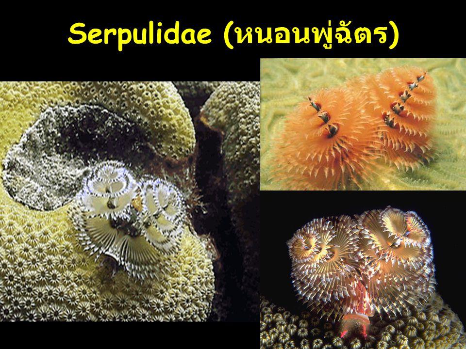Serpulidae (หนอนพู่ฉัตร)
