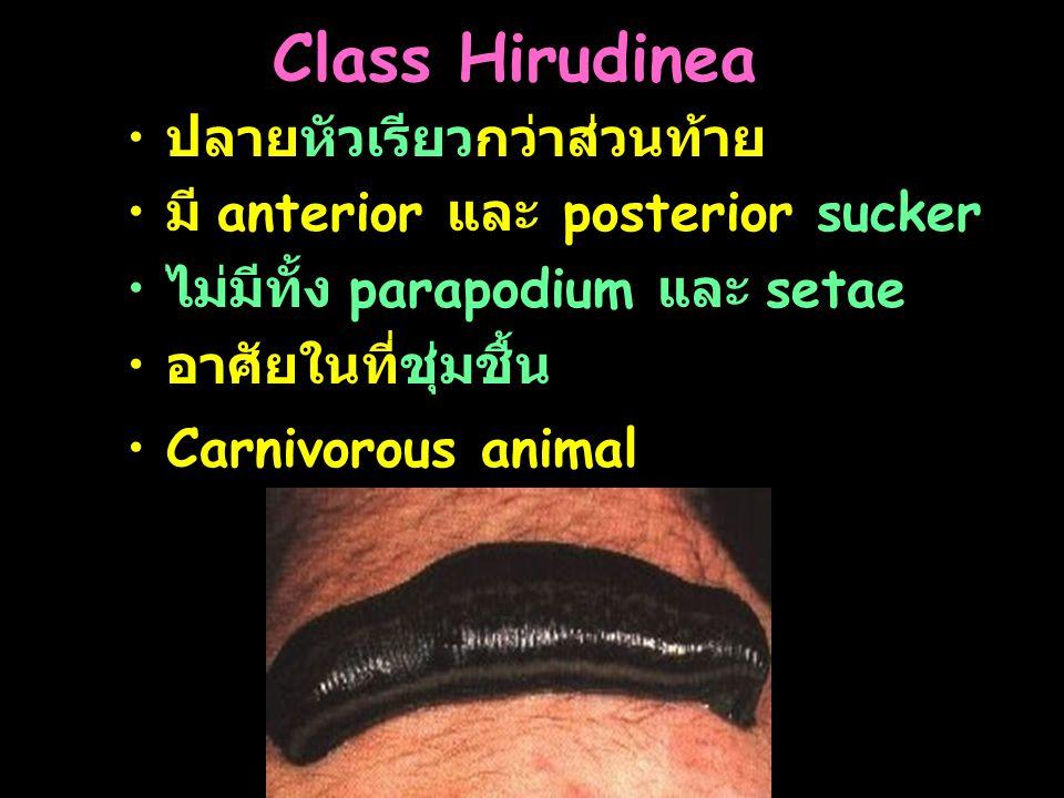 Class Hirudinea ปลายหัวเรียวกว่าส่วนท้าย