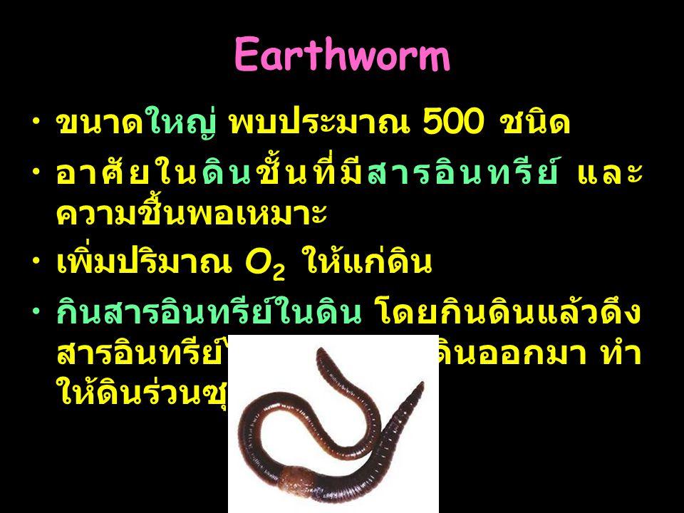 Earthworm ขนาดใหญ่ พบประมาณ 500 ชนิด