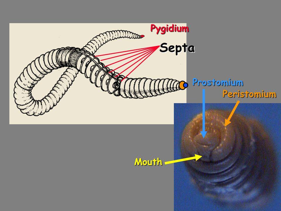 Pygidium Septa Prostomium Peristomium Mouth