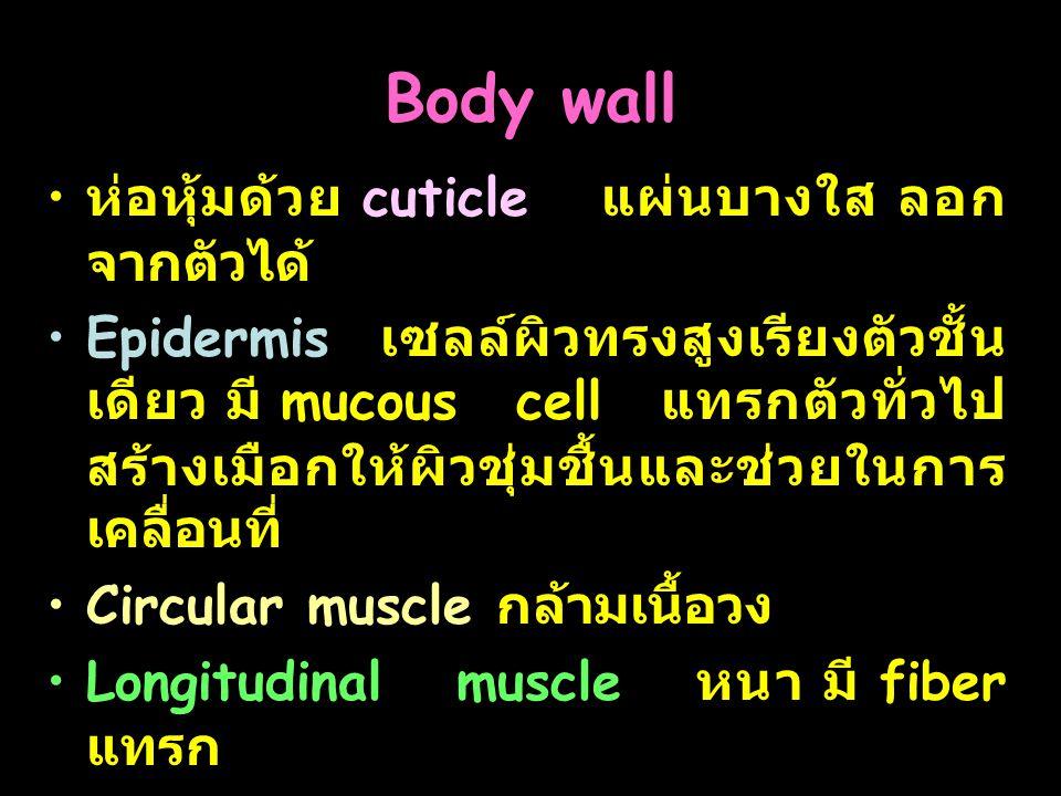 Body wall ห่อหุ้มด้วย cuticle แผ่นบางใส ลอกจากตัวได้