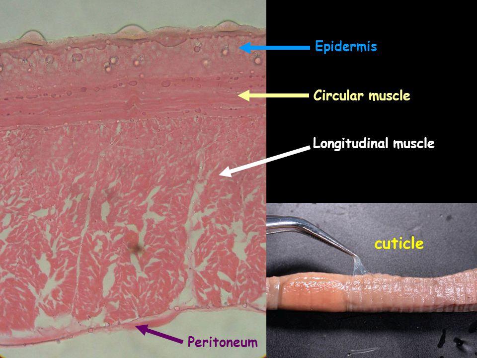 Epidermis Circular muscle Longitudinal muscle cuticle Peritoneum