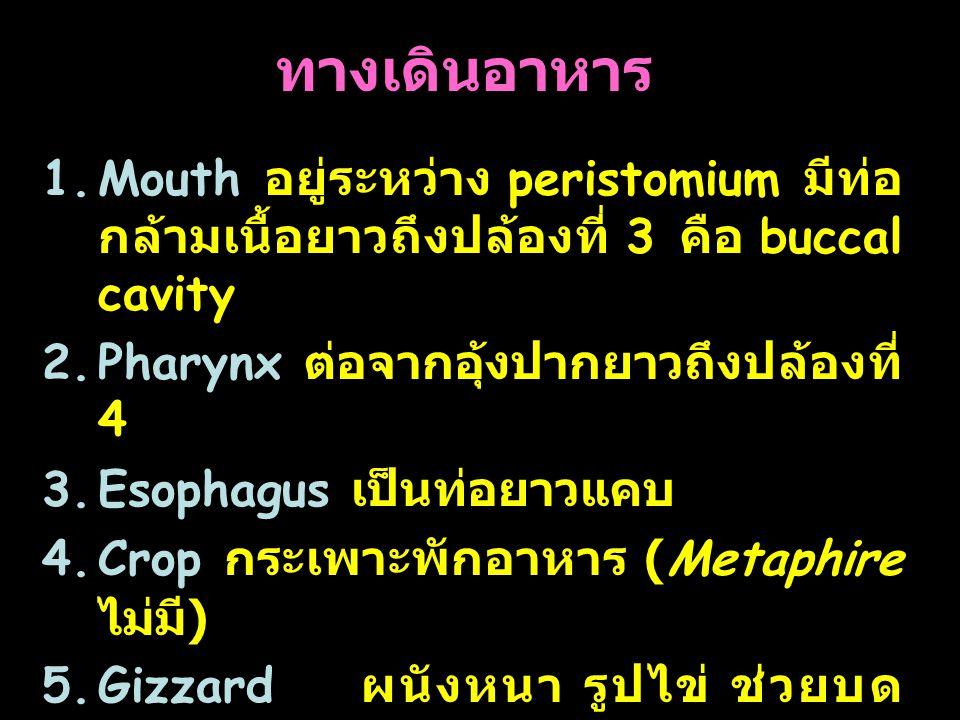 ทางเดินอาหาร Mouth อยู่ระหว่าง peristomium มีท่อกล้ามเนื้อยาวถึงปล้องที่ 3 คือ buccal cavity. Pharynx ต่อจากอุ้งปากยาวถึงปล้องที่ 4.