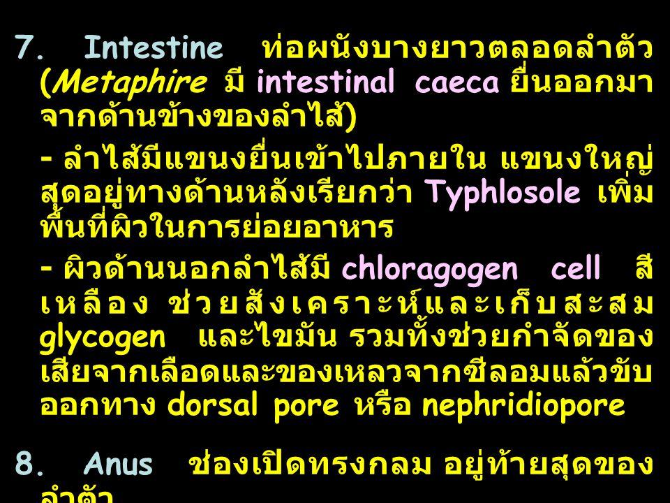 7. Intestine ท่อผนังบางยาวตลอดลำตัว (Metaphire มี intestinal caeca ยื่นออกมาจากด้านข้างของลำไส้)