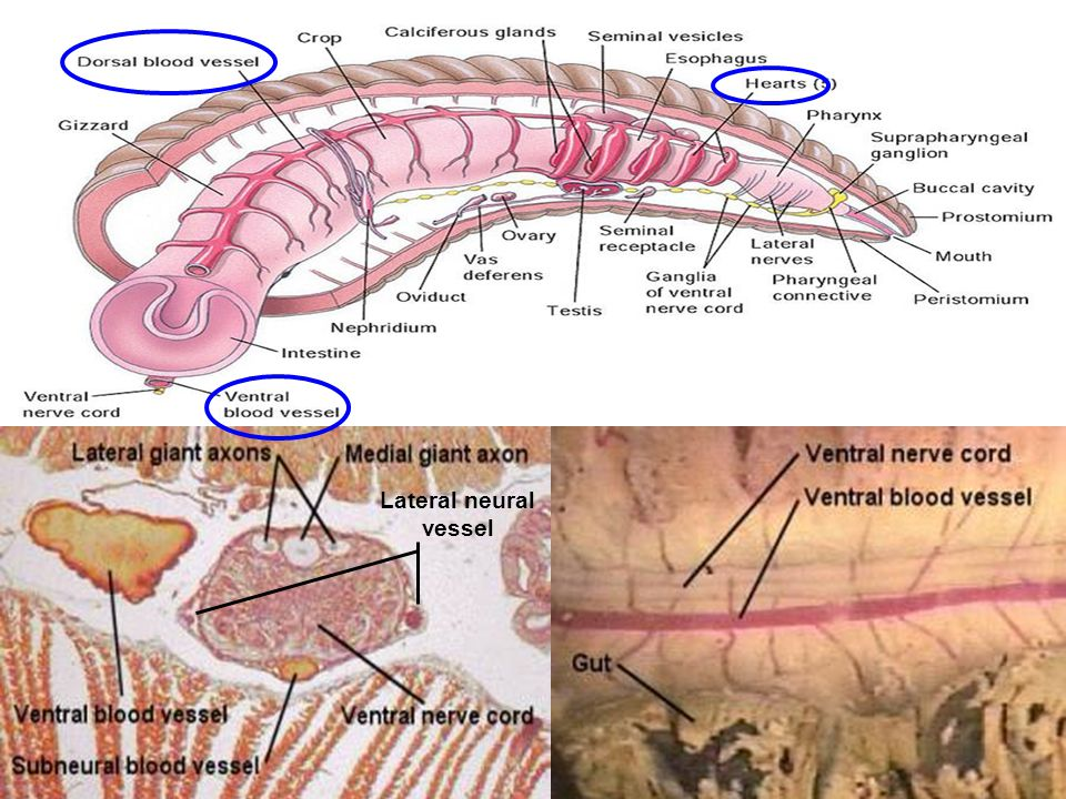 Lateral neural vessel