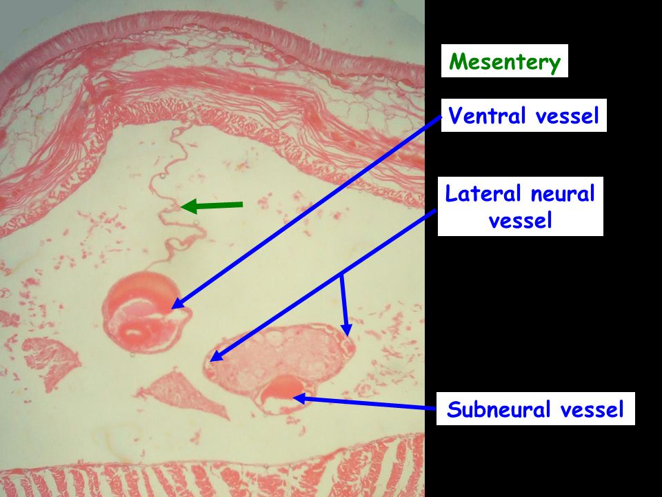 Mesentery Ventral vessel Lateral neural vessel Subneural vessel
