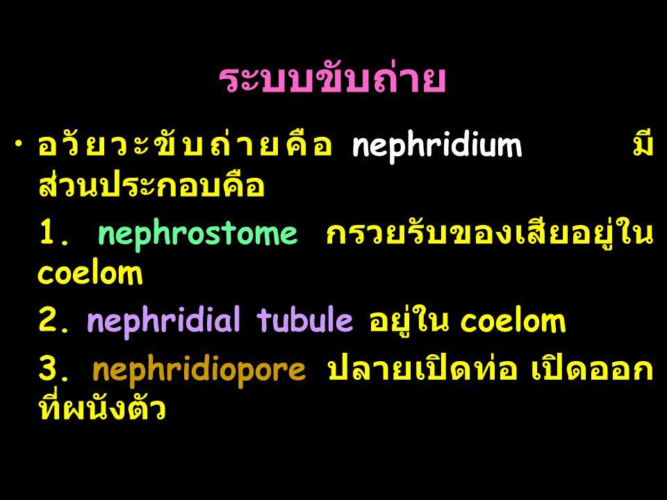 ระบบขับถ่าย อวัยวะขับถ่ายคือ nephridium มีส่วนประกอบคือ