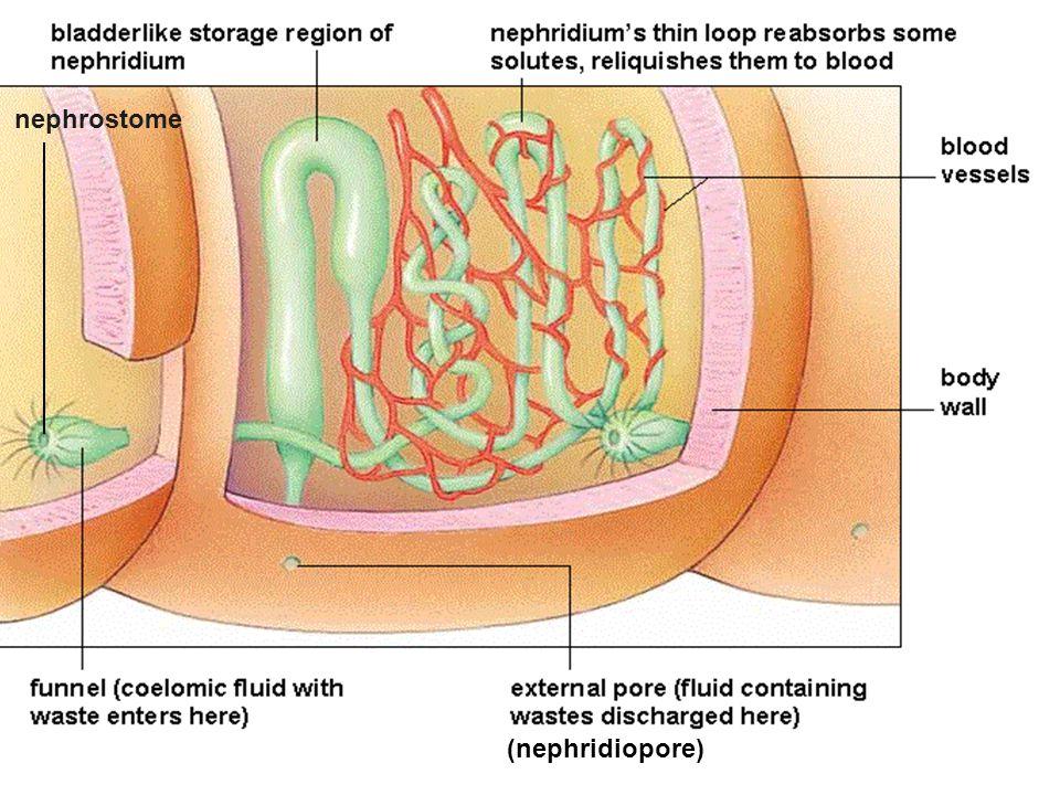 nephrostome (nephridiopore)
