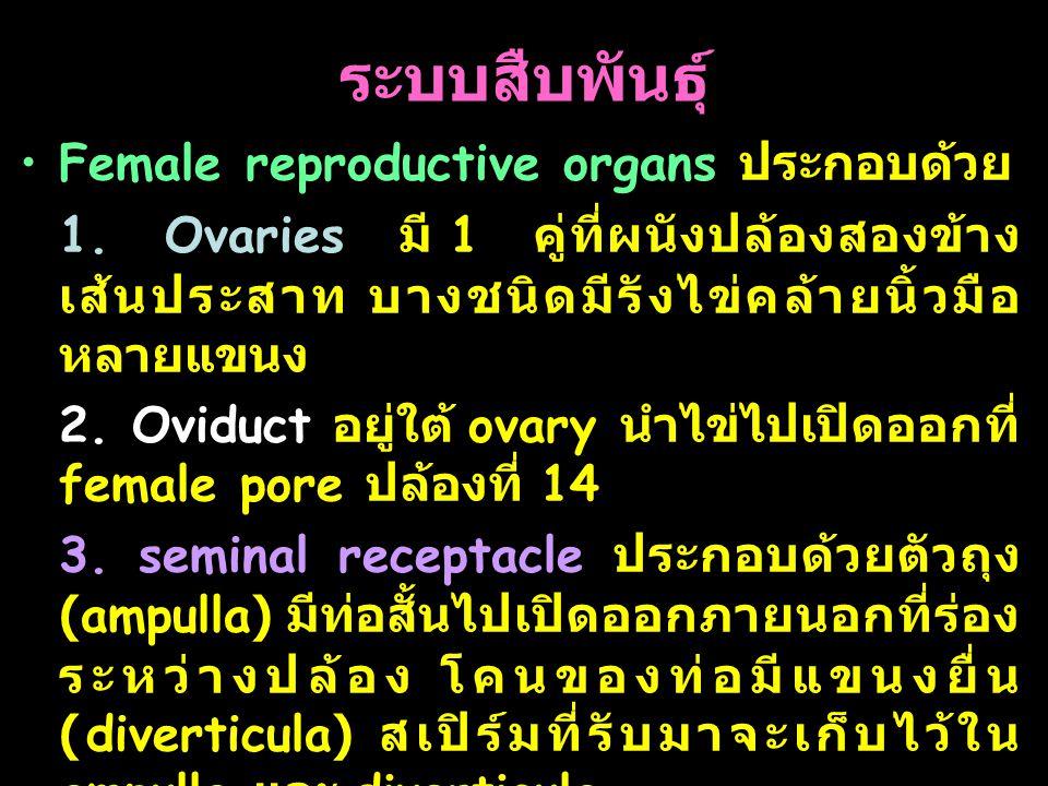 ระบบสืบพันธุ์ Female reproductive organs ประกอบด้วย