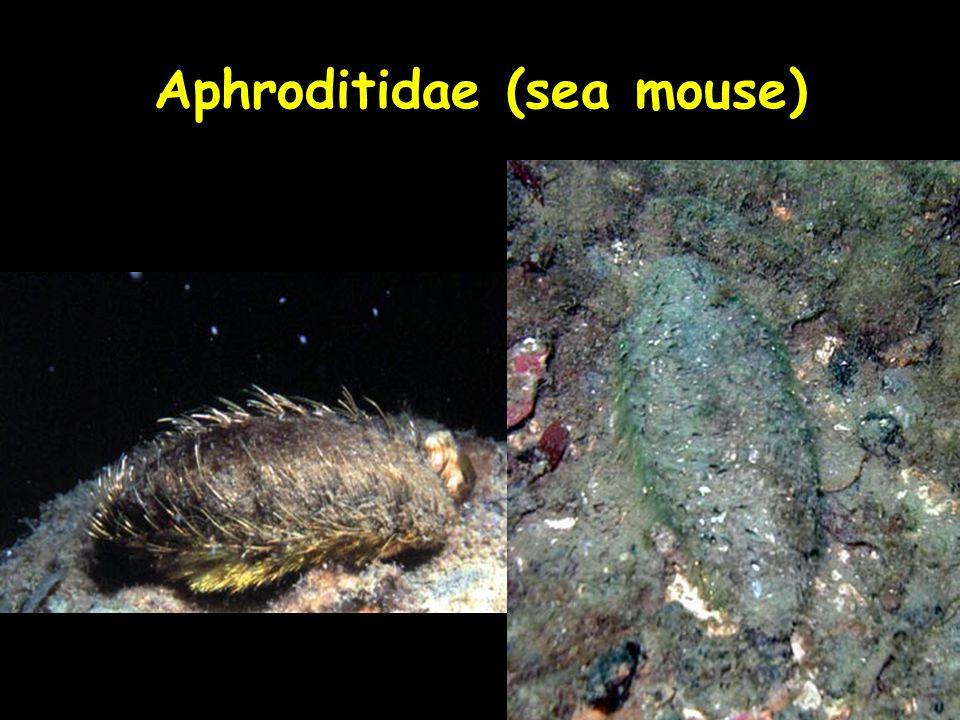 Aphroditidae (sea mouse)