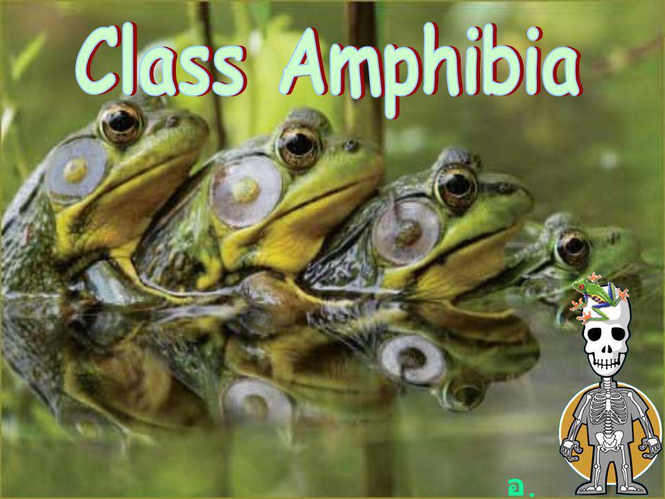 Class Amphibia อ.แน็ต