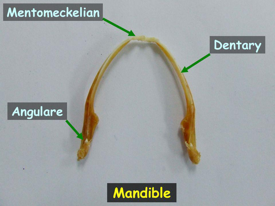 Mentomeckelian Dentary Angulare Mandible