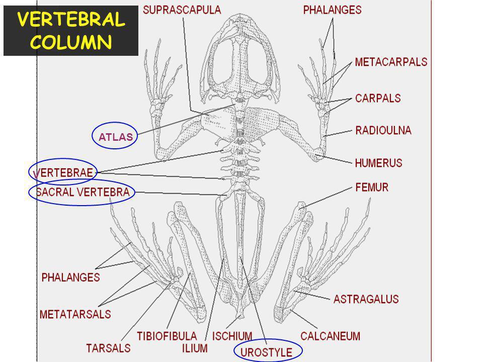 VERTEBRAL COLUMN ATLAS V