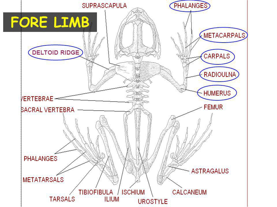 FORE LIMB DELTOID RIDGE