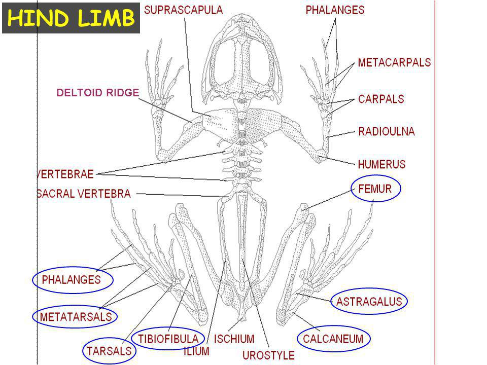 HIND LIMB DELTOID RIDGE