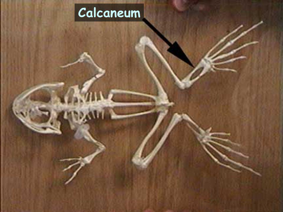 Calcaneum