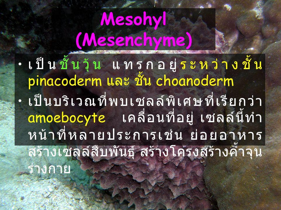 Mesohyl (Mesenchyme) เป็นชั้นวุ้น แทรกอยู่ระหว่างชั้น pinacoderm และ ชั้น choanoderm.