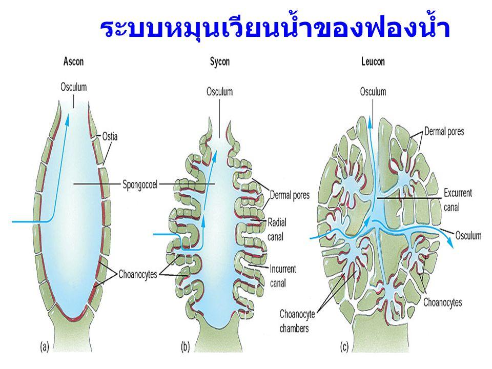ระบบหมุนเวียนน้ำของฟองน้ำ