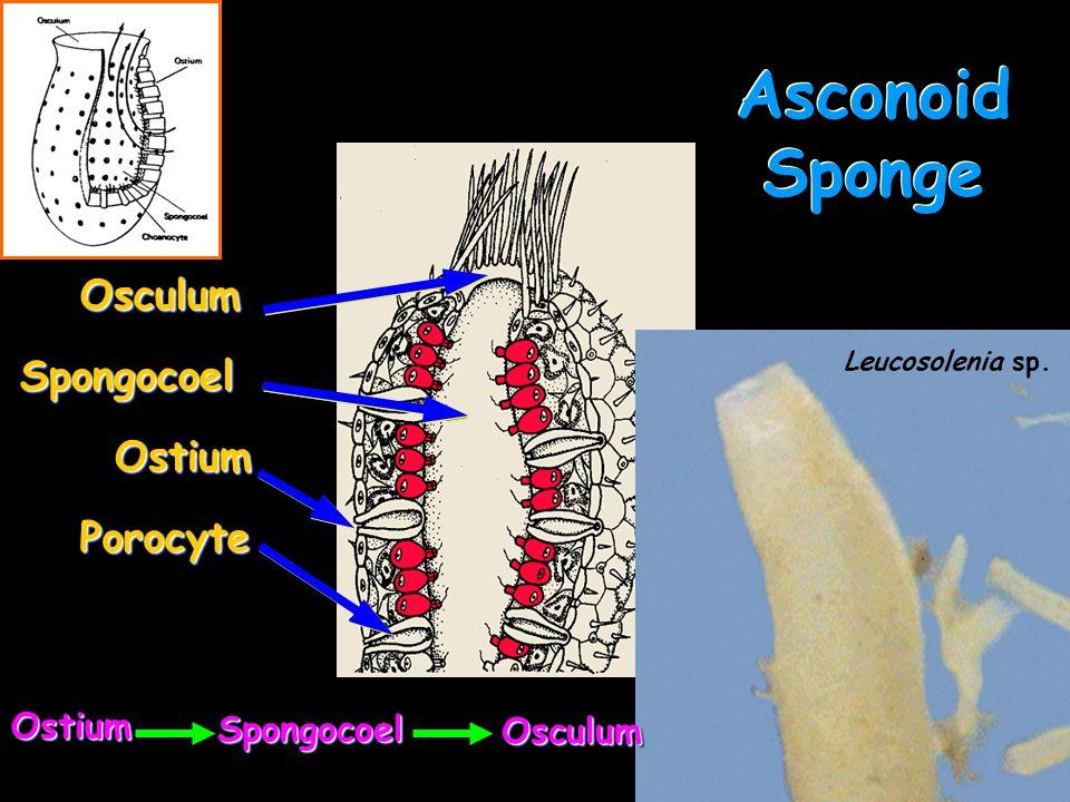 Asconoid Sponge Osculum Spongocoel Ostium Porocyte Ostium Spongocoel