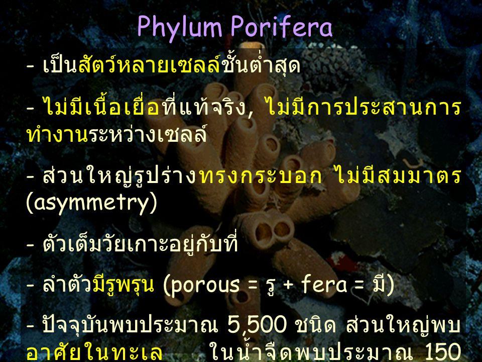 Phylum Porifera - เป็นสัตว์หลายเซลล์ชั้นต่ำสุด