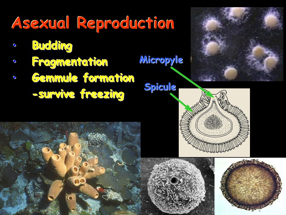 Asexual Reproduction Budding Fragmentation Gemmule formation
