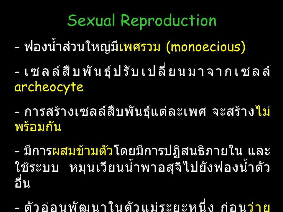 Sexual Reproduction ฟองน้ำส่วนใหญ่มีเพศรวม (monoecious)