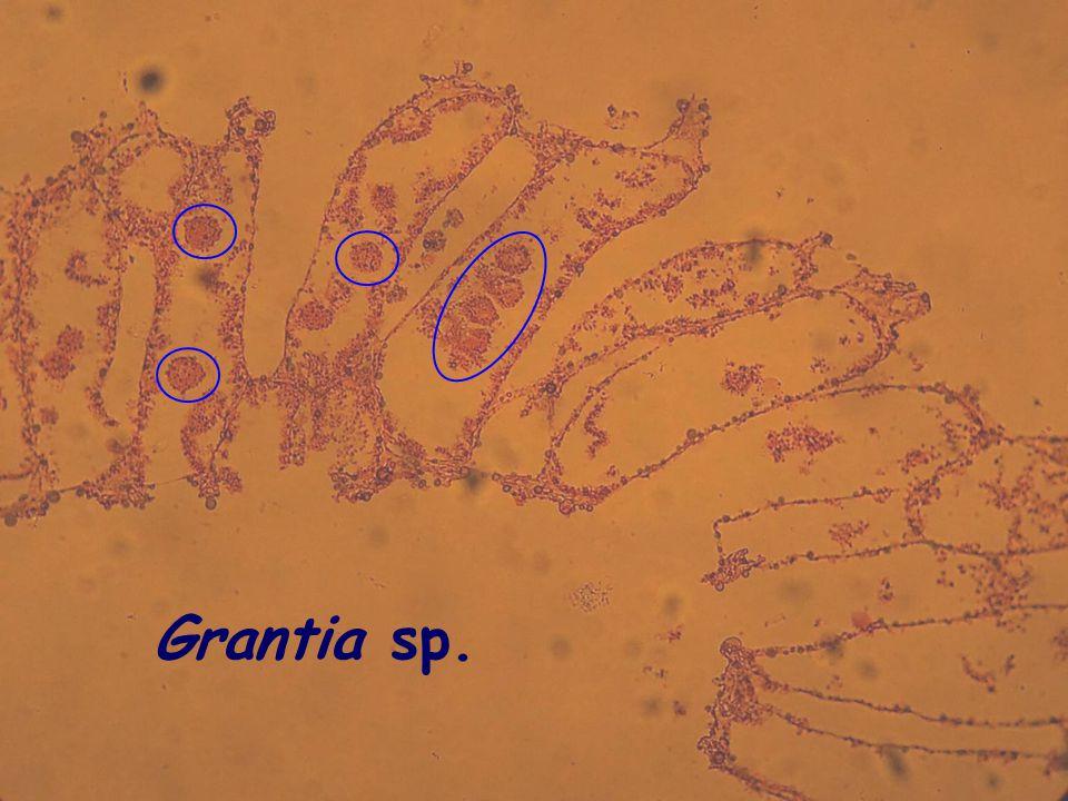 Grantia sp.