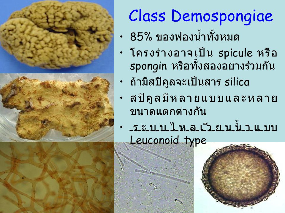 Class Demospongiae 85% ของฟองน้ำทั้งหมด