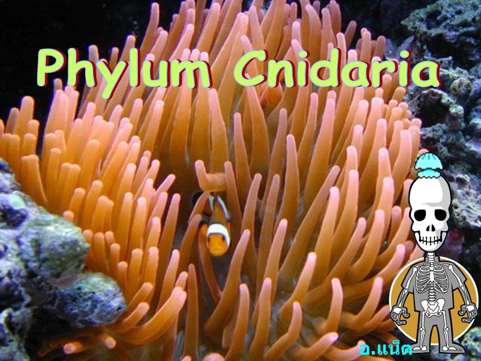 Phylum Cnidaria อ.แน็ต