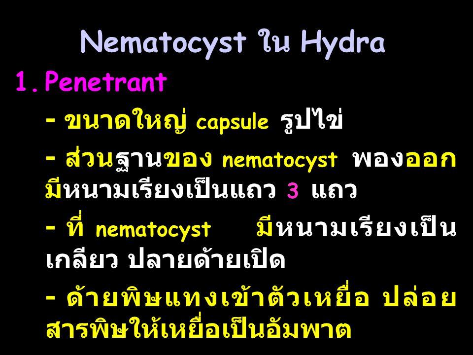 Nematocyst ใน Hydra Penetrant - ขนาดใหญ่ capsule รูปไข่