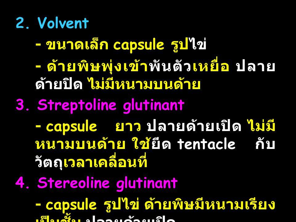 2. Volvent - ขนาดเล็ก capsule รูปไข่ - ด้ายพิษพุ่งเข้าพันตัวเหยื่อ ปลายด้ายปิด ไม่มีหนามบนด้าย. 3. Streptoline glutinant.