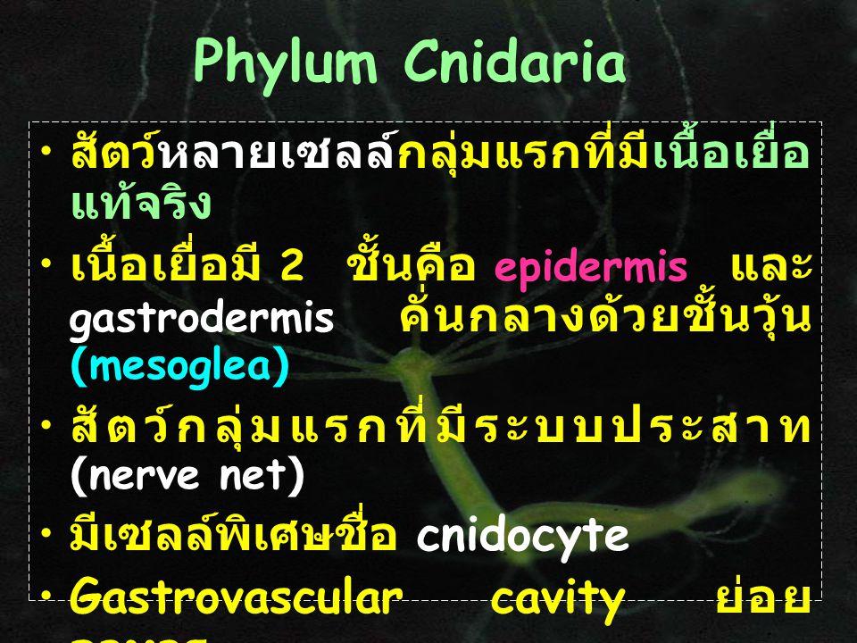 Phylum Cnidaria สัตว์หลายเซลล์กลุ่มแรกที่มีเนื้อเยื่อแท้จริง