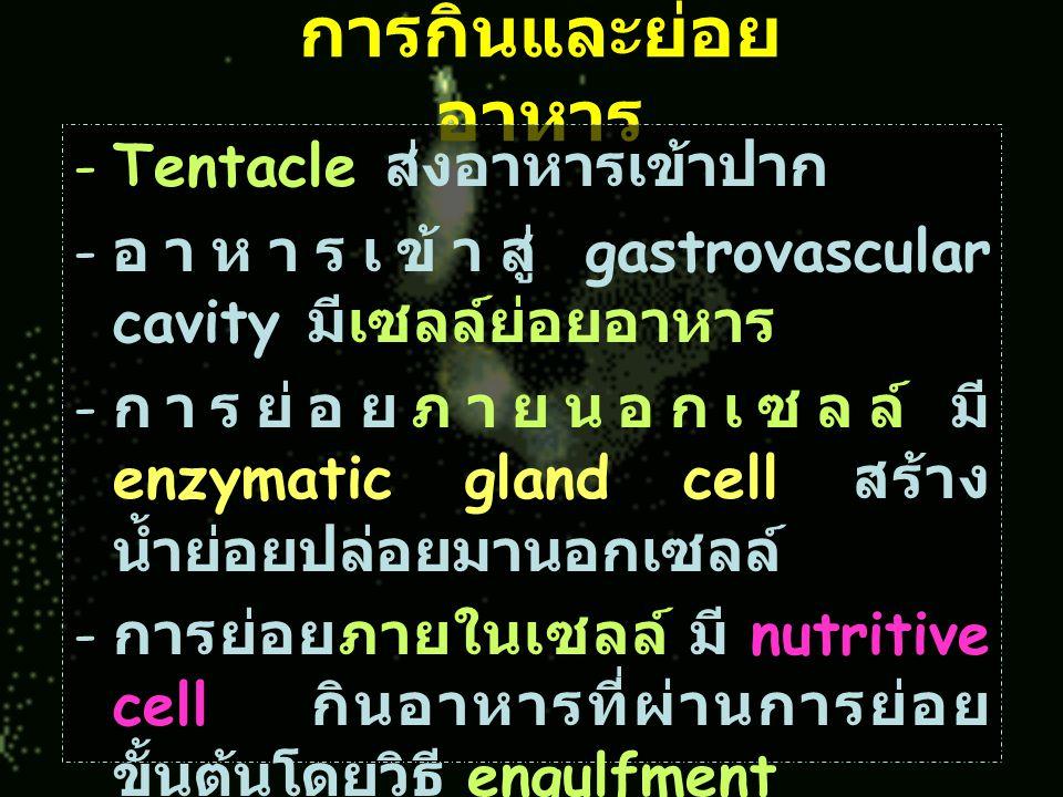 การกินและย่อยอาหาร Tentacle ส่งอาหารเข้าปาก