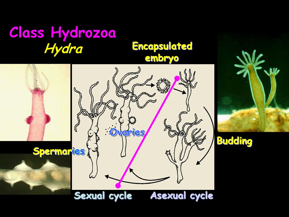 Class Hydrozoa Hydra Encapsulated embryo Ovaries Budding Spermaries