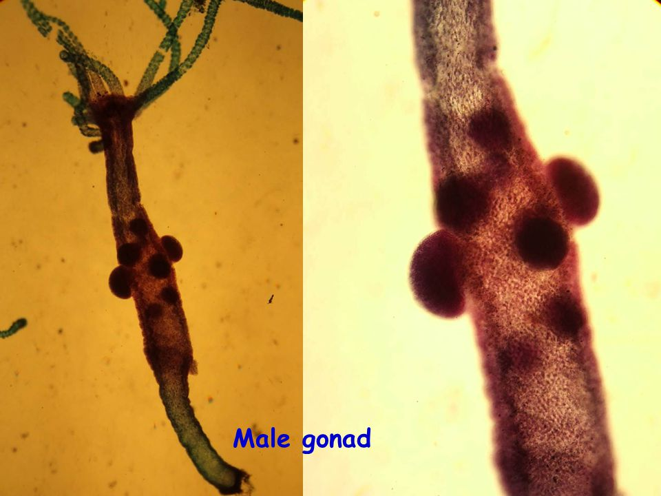 Male gonad