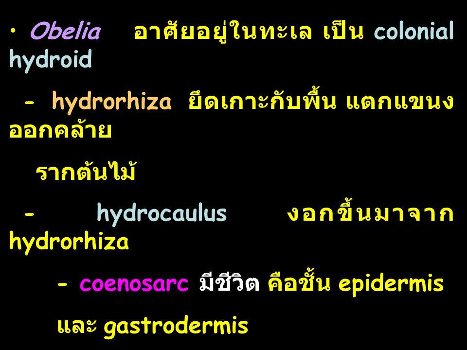 Obelia อาศัยอยู่ในทะเล เป็น colonial hydroid