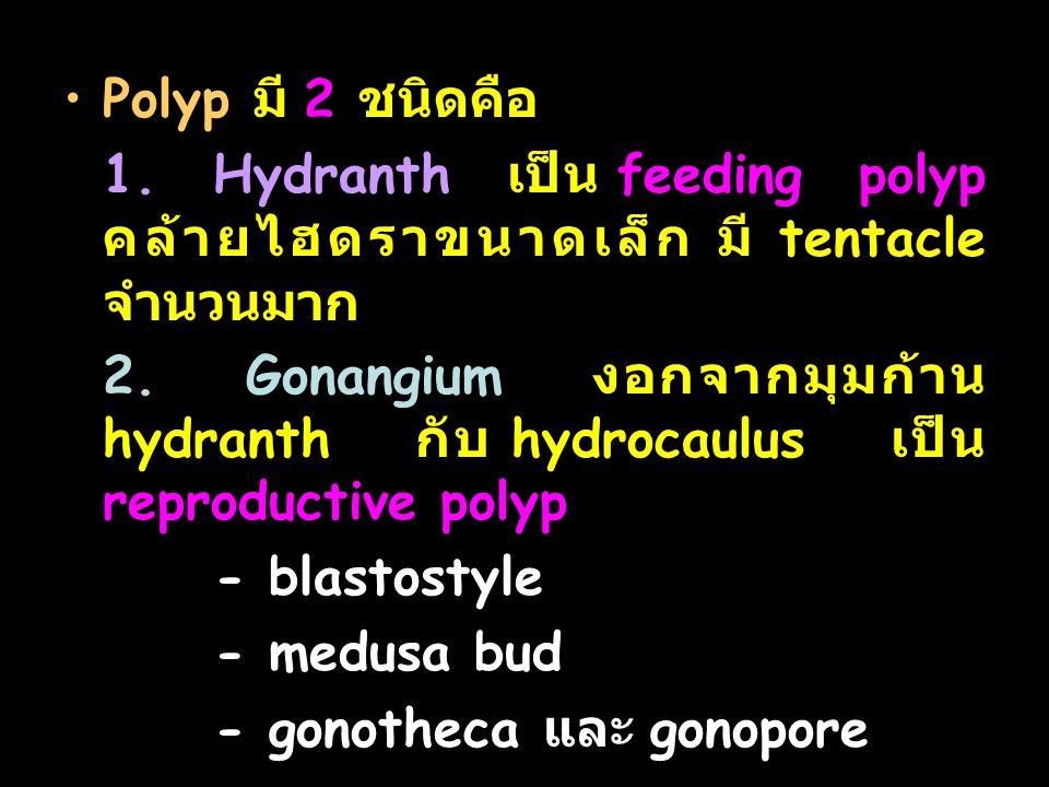 Polyp มี 2 ชนิดคือ 1. Hydranth เป็น feeding polyp คล้ายไฮดราขนาดเล็ก มี tentacle จำนวนมาก.
