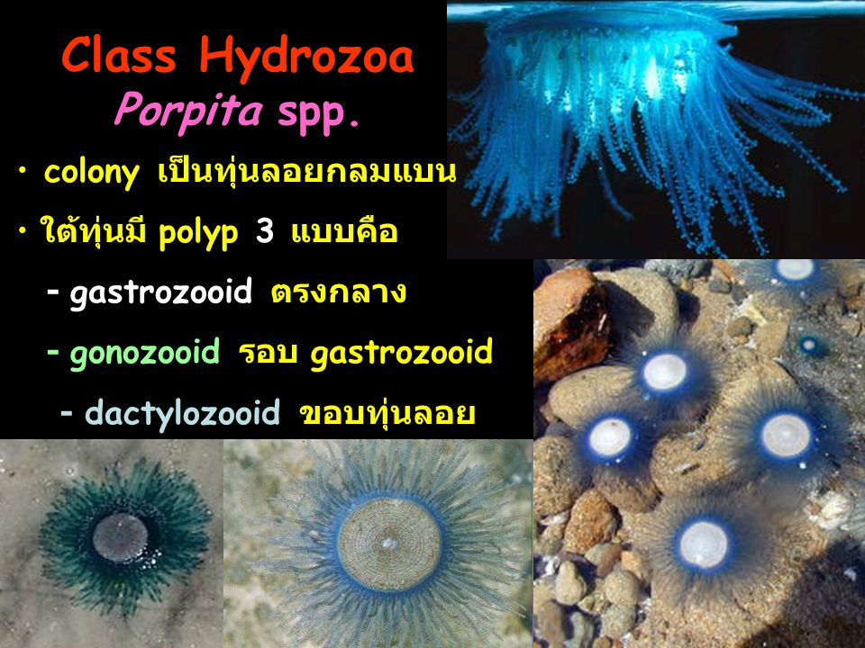 Class Hydrozoa Porpita spp.